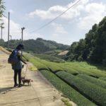 友とワンコと京都和束町茶畑へ